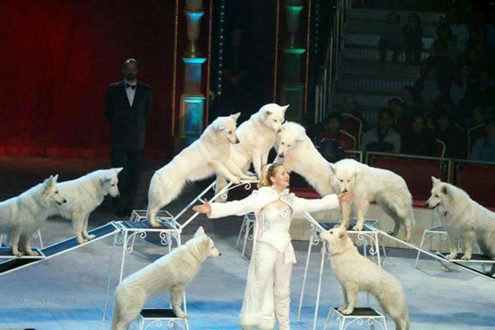 Exit Cirkusz Rafaela Honden fehér farkasok